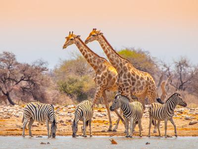 Girafes et zèbres en cohabitation pacifique, tout comme la Communication non violente et le Focusing.